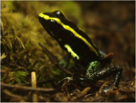 Colombian poison dart frog, Phyllobates aurotaenia. Image from: http://en.wikipedia.org/wiki/Phyllobates_aurotaenia#