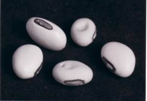 Concanavalin A is isolated from jack beans; approx 10% by weight of protein is con A. Its role is not known for sure but is implicated in an anti fungal protection strategy for the bean via protein to protein cross linking involving polysaccharide.