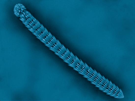 Just 10 micrometers in diameter, this sea squirt helped unlock the crystal structure of vaterite. Photo: Pupa U. P. A. Gilbert, Lee Kabalah-Amitai, Boaz Pokroy